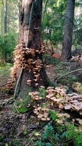 2. Armillaria borealis(Pohjanmesisieni) is parasite mushroom.
