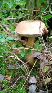 3. Tylopilus felleus (Sappitatti) is wood rottening mushroom.